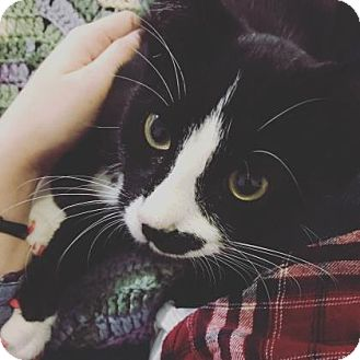 Domestic Shorthair Cat for adoption in New York, New York - Mittens