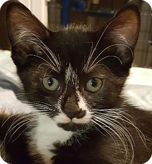 Domestic Shorthair Cat for adoption in Walworth, New York - Rosie Puff
