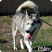 Adopt A Pet :: Chico - Livingston, LA