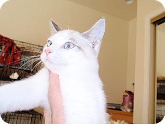 Domestic Shorthair Kitten for adoption in Temecula, California - Tiffany