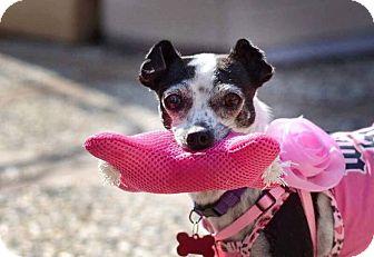 Chihuahua/Italian Greyhound Mix Dog for adoption in Oakley, California - Sadi-ee