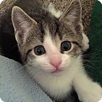 Adopt A Pet :: Sugar Plum - Troy, MI