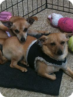 Chihuahua/Dachshund Mix Dog for adoption in Westley, California - Flipper