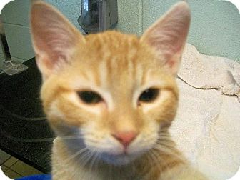 Domestic Shorthair Cat for adoption in Staley, North Carolina - Sushi