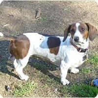 Adopt A Pet :: Izzy - San Jose, CA