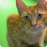 American Shorthair Cat for adoption in Estherville, Iowa - Comet