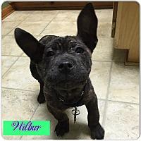 Adopt A Pet :: Wilbur - Snellville, GA