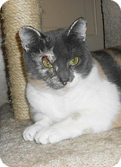 Domestic Shorthair Cat for adoption in Chesapeake, Virginia - Lilac