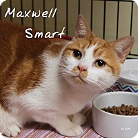 Adopt A Pet :: Maxwell Smart - Ocean City, NJ
