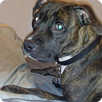 Staffordshire Bull Terrier Mix Dog for adoption in Cincinnati, Ohio - Lacey