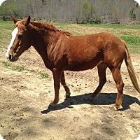Quarterhorse/Tennessee Walking Horse Mix for adoption in Centerville, Tennessee - Star