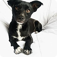 Adopt A Pet :: Chase - San Diego, CA