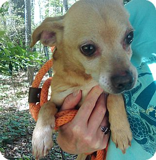 Chihuahua/Rat Terrier Mix Dog for adoption in Lebanon, Connecticut - Doodles