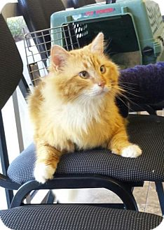 Domestic Longhair Cat for adoption in St. Cloud, Florida - Chester