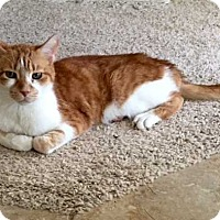 Domestic Shorthair Cat for adoption in San Angelo, Texas - Barney