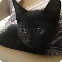 Adopt A Pet :: Vera's Kittens - Harrison, NY