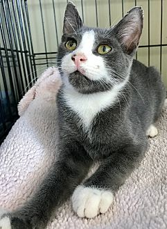 Domestic Shorthair Kitten for adoption in Island Park, New York - Reggie