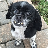 Shih Tzu Mix Dog for adoption in Rye Brook, New York - Lola