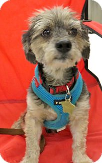 Silky Terrier Mix Dog for adoption in Studio City, California - Jimmy