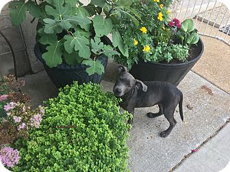 Pit Bull Terrier/Labrador Retriever Mix Puppy for adoption in Baltimore, Maryland - Jessie