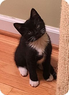Domestic Shorthair Kitten for adoption in Summerville, South Carolina - Baxter