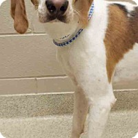 Hound (Unknown Type) Mix Dog for adoption in Shorewood, Illinois - Lester