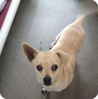 Chihuahua Mix Dog for adoption in Staunton, Virginia - Butter cup