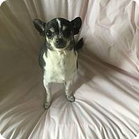 Adopt A Pet :: JULIETTE - 3 YEAR CHIHUAHUA FE - Mesa, AZ