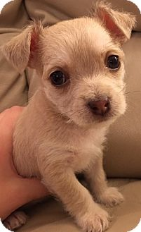"Maltese/Yorkie, Yorkshire Terrier Mix Puppy for adoption in Oswego, Illinois - I'M ADOPTED Miracles ""Violet"""