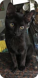 Domestic Shorthair Kitten for adoption in Dallas, Texas - Raven