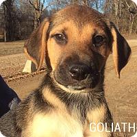 Adopt A Pet :: Goliath - Trenton, NJ