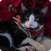 Domestic Shorthair Kitten for adoption in Staten Island, New York - Miss Oreo