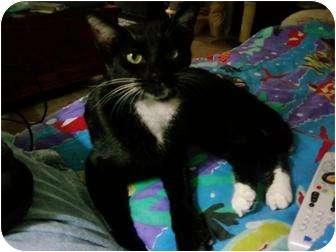 Domestic Shorthair Cat for adoption in Little Rock, Arkansas - JoJo