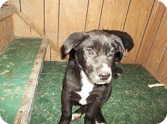 Great Dane/Newfoundland Mix Puppy for adption in Saint Louis, Missouri ...