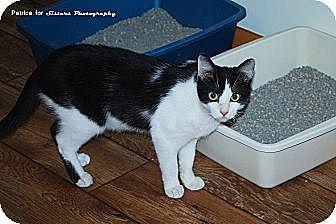 Domestic Shorthair Cat for adoption in Lincoln, Nebraska - Mischief