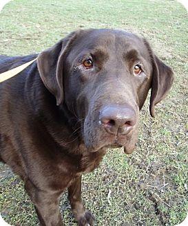 Labrador Retriever Dog for adoption in Morgantown, West Virginia - Boomer