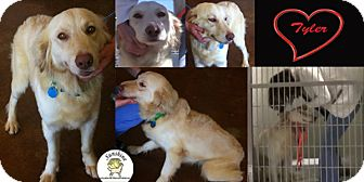 Golden Retriever/Labrador Retriever Mix Dog for adoption in New Canaan, Connecticut - Tyler