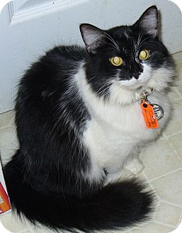 Domestic Mediumhair Cat for adoption in Lawrenceville, Georgia - Gina