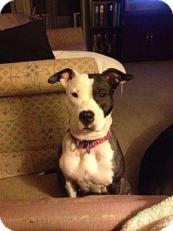Pit Bull Terrier/Boston Terrier Mix Dog for adoption in Sinking Spring, Pennsylvania - Sophie