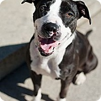 Adopt A Pet :: Dancer - Reisterstown, MD