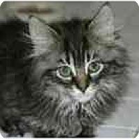 Adopt A Pet :: Lancelot - Arlington, VA