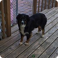 Adopt A Pet :: Gypsy - Elk River, MN