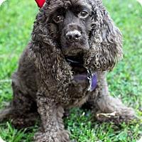 Adopt A Pet :: Koko - Detroit, MI