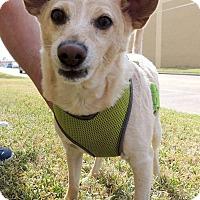 Adopt A Pet :: JJ - Humble, TX