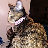 Domestic Shorthair Cat for adoption in Nashua, New Hampshire - Andrea
