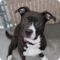 American Pit Bull Terrier Mix Dog for adoption in Manhattan, New York - Ross