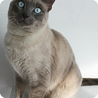 Siamese Cat for adoption in Los Angeles, California - Mishka