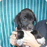 Adopt A Pet :: Domino - Oviedo, FL