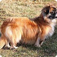 Adopt A Pet :: Poppy - Chantilly, VA
