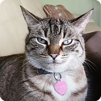 Domestic Shorthair Cat for adoption in Toronto, Ontario - Ricki